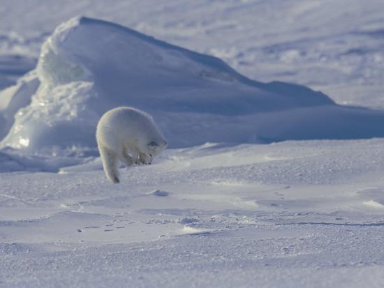 norbert-rosing-white-arctic-fox-alopex-lagopus-jumps-on-a-ringed-seal-pup-den