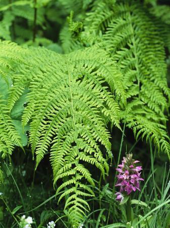 norbert-rosing-wildflowers-and-ferns-in-forest-bayerischer-wald-national-park