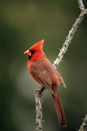 northern-cardinal-male