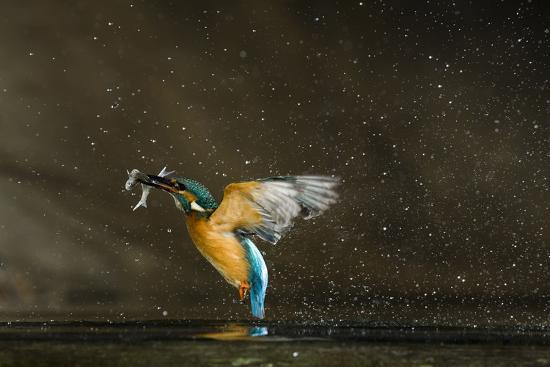 novak-kingfisher-alcedo-atthis-flying-out-of-water-carrying-fish-balatonfuzfo-hungary-january-2009