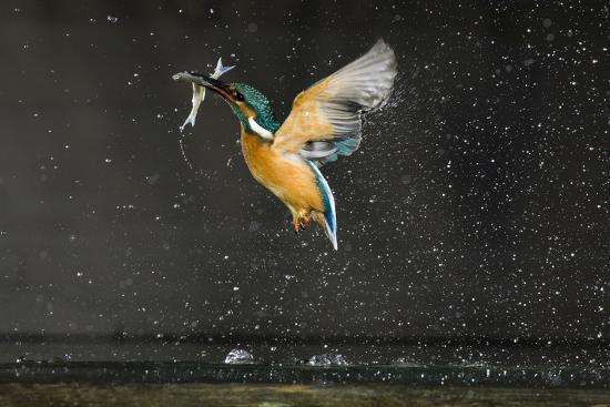 novak-kingfisher-alcedo-atthis-in-flight-carrying-fish-balatonfuzfo-hungary-january-2009