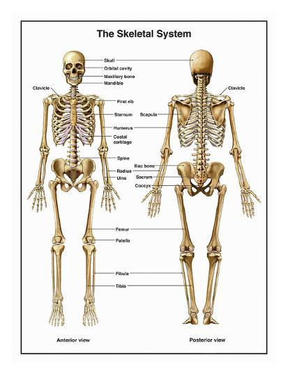 Full body anterior and posterior anatomy of the human skeletal full body anterior and posterior anatomy of the human skeletal system ccuart Image collections