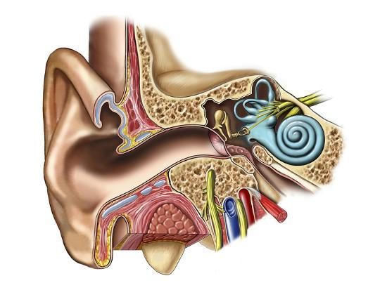nucleus-medical-art-the-anatomy-of-the-outer-middle-and-inner-ear-from-an-anterior-front-coronal-cut-away
