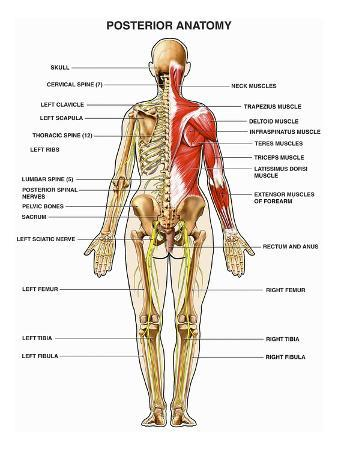 nucleus-medical-art-the-human-muscular-skeletal-and-nervous-systems-shown-from-a-back