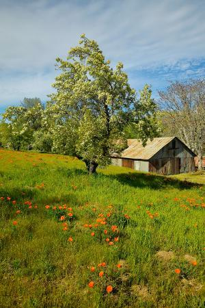 old-barn-next-to-a-colorful-bouquet-of-spring-flowers-and-california-poppies-near-lake-hughes-ca
