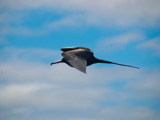 oliver-schwartz-fregattvogel-auf-galapagos