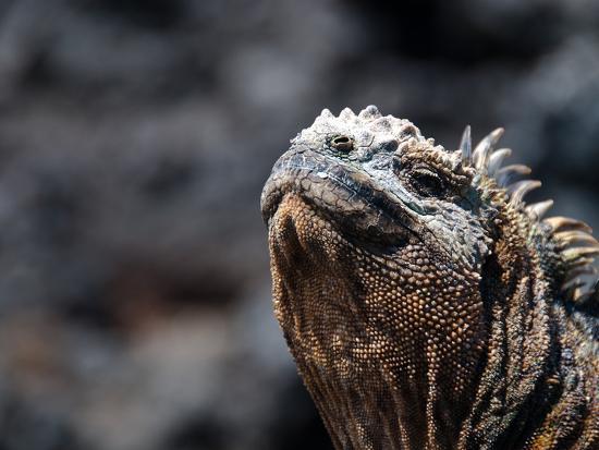 oliver-schwartz-landleguan-auf-galapagos