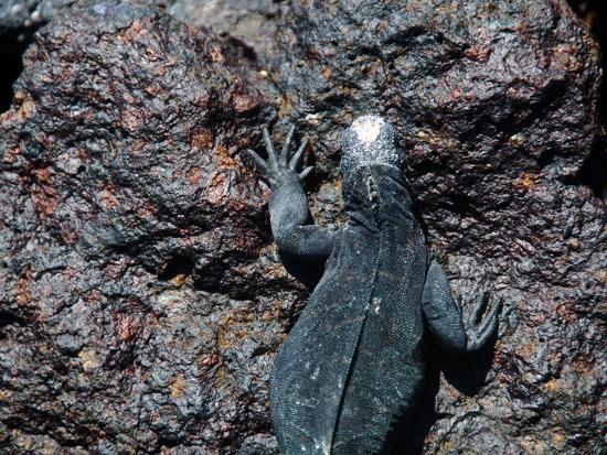 oliver-schwartz-meerechsen-auf-galapagos