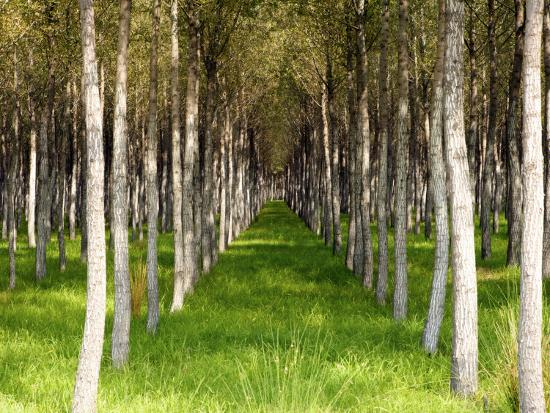 oliver-strewe-willow-trees-being-grown-for-cricket-bats