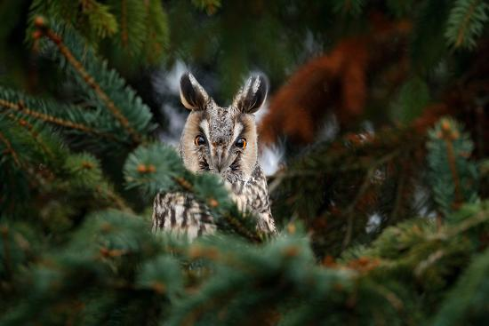 ondrej-prosicky-long-eared-owl-sitting-on-the-branch-in-the-fallen-larch-forest-during-autumn-owl-hidden-in-the-fo
