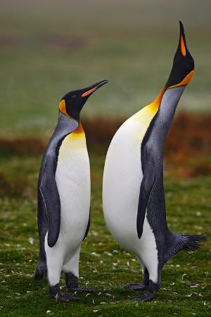 ondrej-prosicky-pair-of-penguins-small-and-big-bird-male-and-female-of-penguin-king-penguin-couple-cuddling-in-w