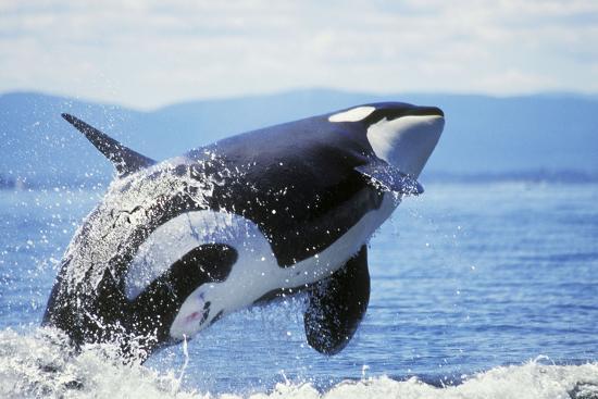 orca-whale-breaching