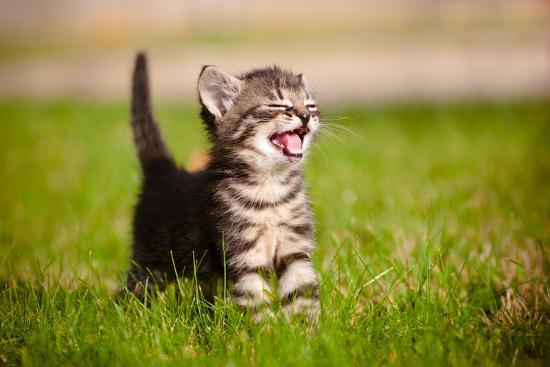 ots-photo-tabby-kitten-outdoors-meowing