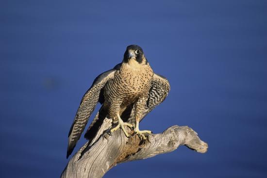 outdoorsman-falcon