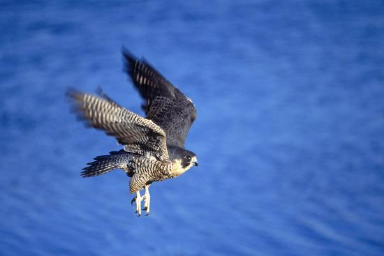 outdoorsman-peregrine-falcon-in-flight