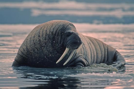 outdoorsman-walrus-in-canadian-arctic