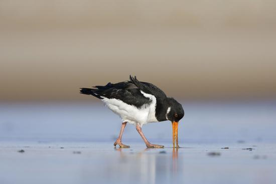 oystercatcher-probing-into-the-sand-for-a-worm