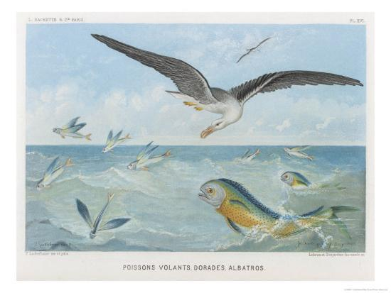 p-lackerbauer-an-albatross-at-sea-preying-on-flying-fish