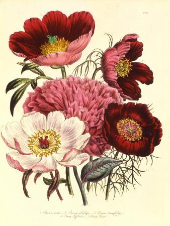 paeonia-edulis-c-1800