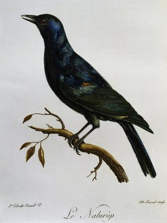 pale-winged-starling-onychognathus-nabouroup