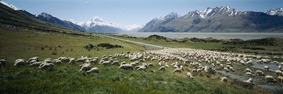 panoramic-images-flock-of-sheep-lake-pukaki-glentanner-station-mt-cook-national-park-south-island-new-zealand