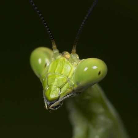 papilio-praying-mantis-face