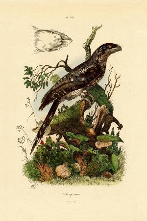 papuan-frogmouth-1833-39