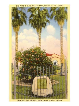 parent-orange-tree-riverside-california