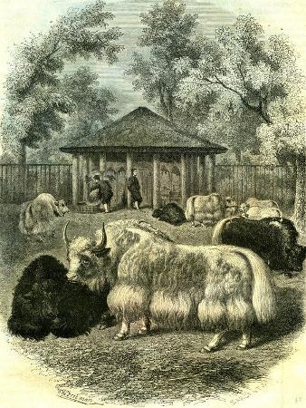 paris-yaks-1854