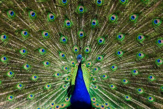 pascal-halder-natural-symmetric-and-colorful-male-peacock-in-sunlight