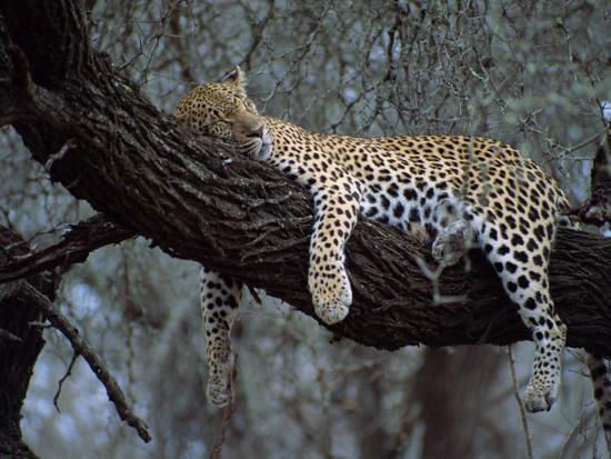 paul-allen-close-up-of-a-single-leopard-asleep-in-a-tree-kruger-national-park-south-africa