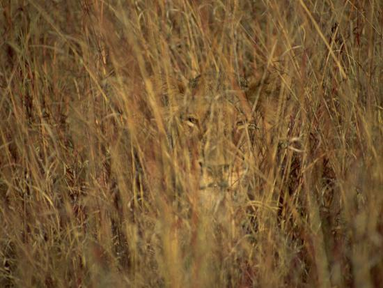paul-allen-portrait-of-a-lioness-hiding-and-camouflaged-in-long-grass-kruger-national-park-south-africa