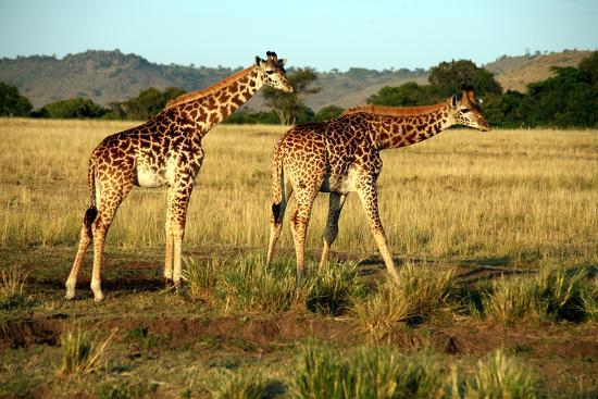 paul-banton-giraffe-drinking-in-the-grasslands-of-the-masai-mara-reserve-kenya