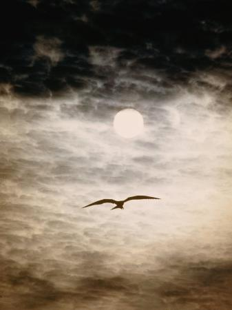 paul-chesley-a-silhouetted-frigate-bird-takes-flight-in-a-stangely-lit-daytime-sky