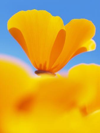 paul-colangelo-california-poppies-eschscholzia-californica-californica-san-simeon-state-park-california-usa