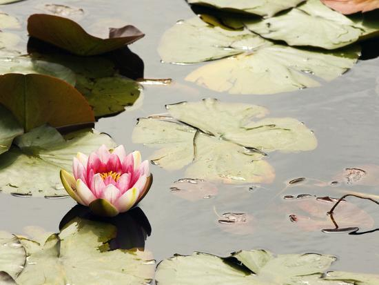 paul-colangelo-pink-water-lily-stanley-park-british-columbia-canada