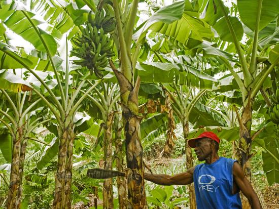 paul-harris-south-pacific-fiji-kadavu-local-fijian-islander-checking-his-banana-plantation-on-dravuni-island
