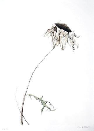 paul-jansen-dry-daisy