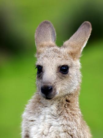 paul-kennedy-young-kangaroo-macropus-giganteus-at-pretty-beach