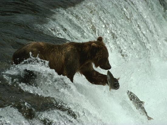 paul-nicklen-a-grizzly-bear-fishes-in-the-middle-of-a-waterfall
