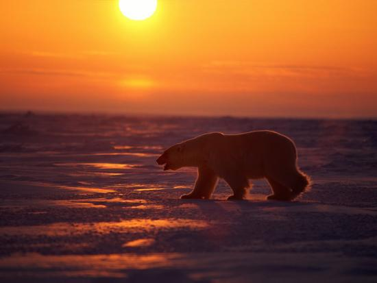 paul-nicklen-a-polar-bear-is-silhouetted-against-the-arctic-sunset