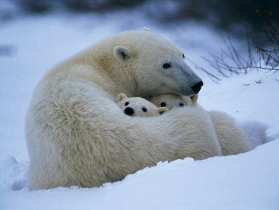 paul-nicklen-a-polar-bear-snuggles-up-with-her-cubs