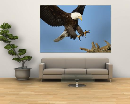 paul-nicklen-american-bald-eagle-comes-in-for-a-landing-on-a-dead-tree-branch