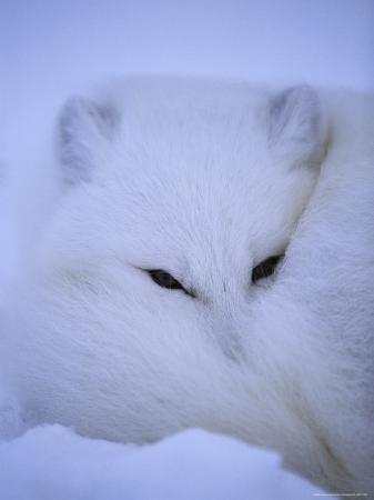 paul-nicklen-an-arctic-fox-buries-itself-in-the-crisp-white-snow