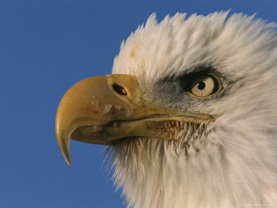 paul-nicklen-close-view-of-an-american-bald-eagle
