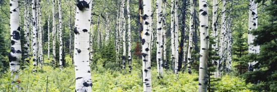 paul-souders-alpine-forest-of-white-birch-trees-glacier-national-park-montana-usa