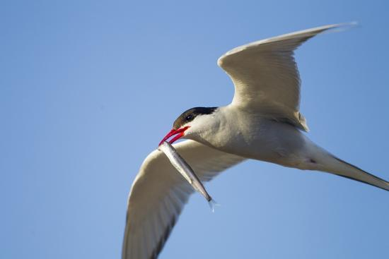 paul-souders-arctic-tern-hudson-bay-canada