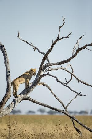 paul-souders-botswana-chobe-np-lioness-climbing-acacia-tree-in-savuti-marsh