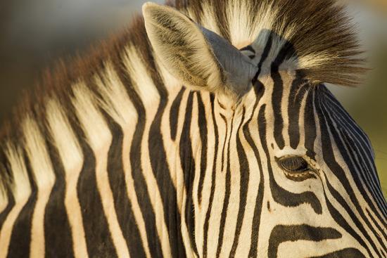 paul-souders-botswana-moremi-game-reserve-plains-zebra-in-herd-in-okavango-delta