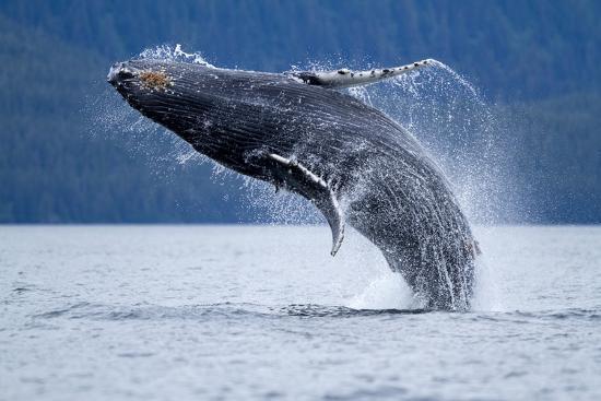 paul-souders-breaching-humpback-whale-alaska